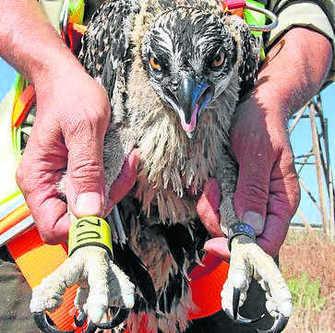 El águila pescadora sigue colonizando las Marismas de Isla Cristina