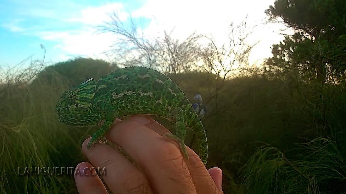 Concluyen las jornadas para el censo del camaleón común en Islantilla e Isla Cristina