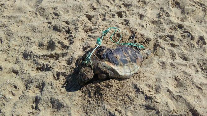 Encuentran muerta una tortuga de grandes dimensiones en la playa de La Redondela de Isla Cristina
