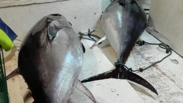 Intervenidos 807 kilos de atún sin documentación en un camión que circulaba desde Isla Cristina a Sevilla por la A-49