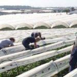 Huelva recurre a la mano de obra europea para recoger la fresa
